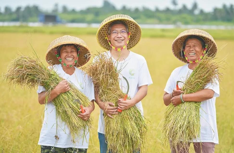 收割紫贝赤稻的喜悦。