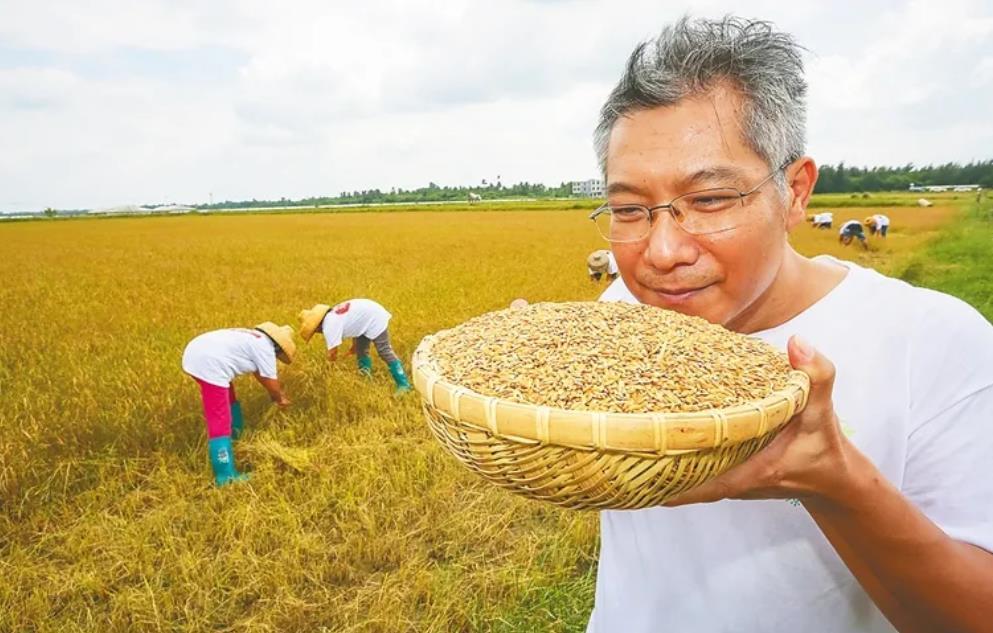 收割紫贝赤稻。